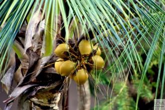 niedojrzałe kokosy :)
