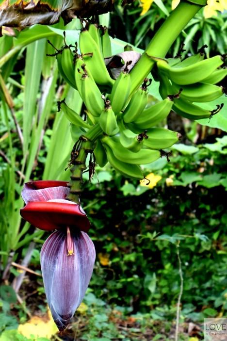 kwitnący banan