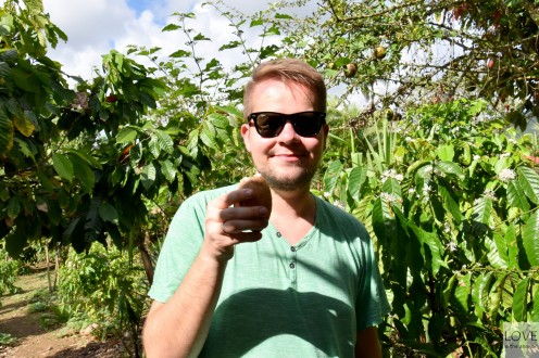 mleczko kokosowe na plantacji