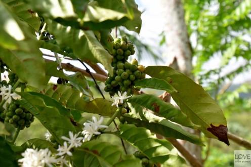 Kwitnąca kawa