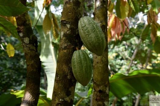 Kakaowiec