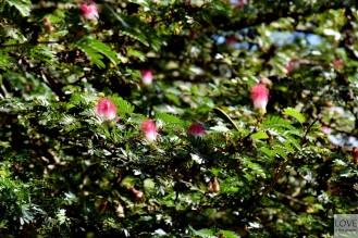 kwitnąca albicja jedwabista