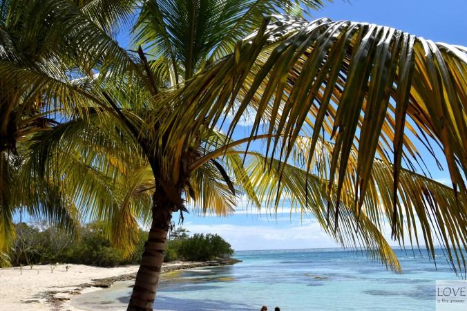Palma kokosowa na Saonie