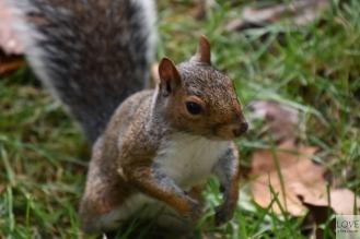 Wiewiórka - Nowy Jork