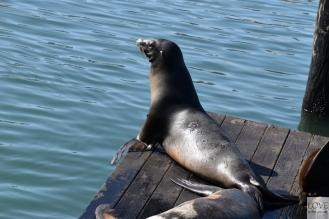 Sea Lions Pier 39 - San Francisco