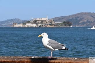 Mewa z Alcatraz