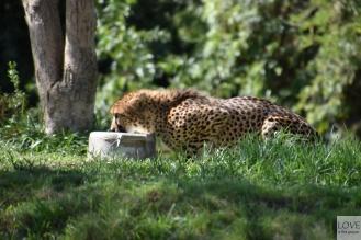 Gepard w Zoo Safari San Diego