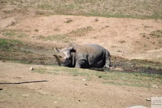 Biały nosorożec w Zoo Safari San Diego