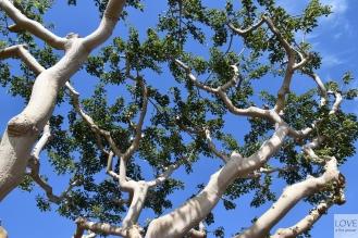 Ciekawe drzewa w San Diego