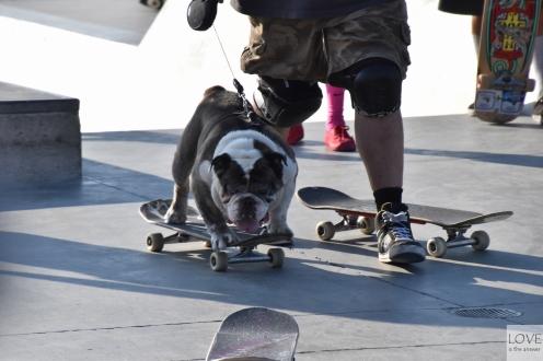 Pies na deskorolce w Venice Beach