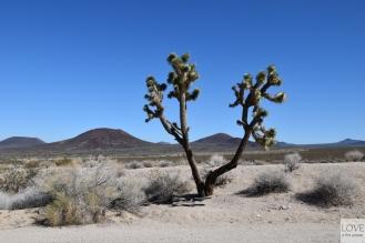 Drzewo Jozuego- Pustynia Mojave