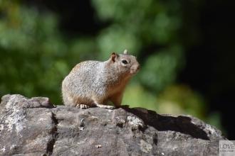 gryzonie w Zion National Park