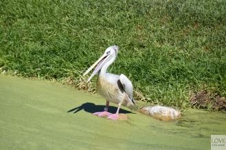 San Diego Zoo Safari - pelikan