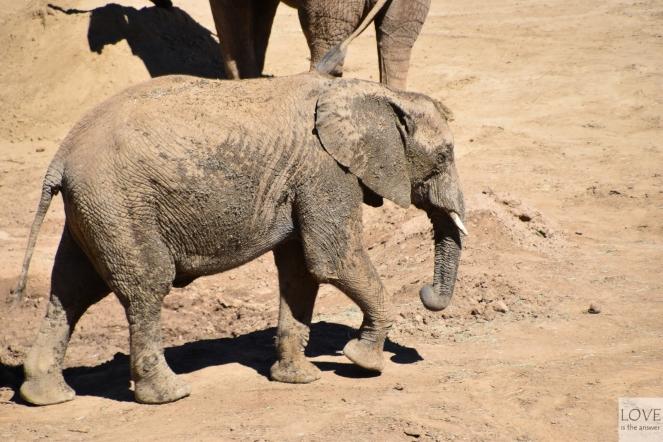San Diego Zoo Safari Park - Słonie