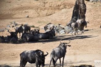 San Diego Zoo Safari - Sawanna
