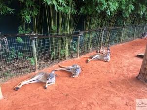 Kangury w Tampa Busch Garden