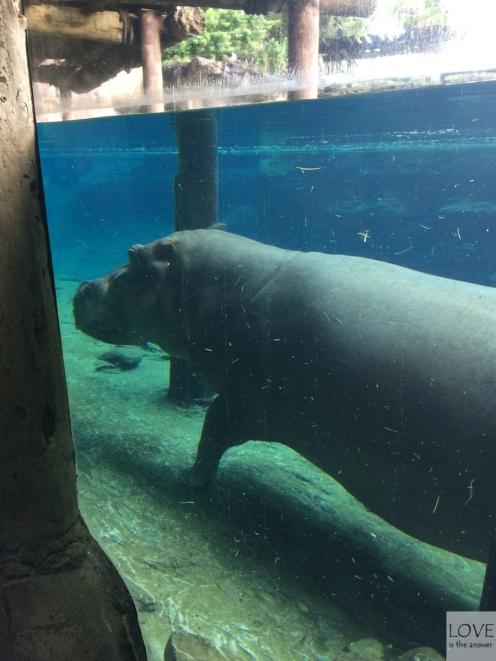 Hipopotam w Tampa Busch Garden