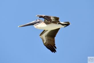 Pelikan nad Florydą